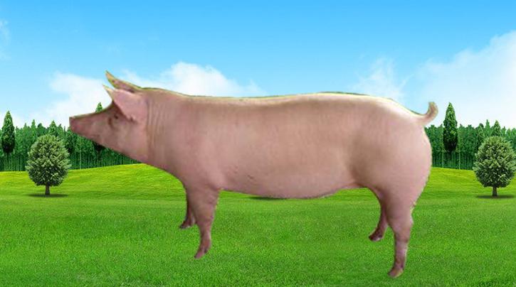 二杂母猪2